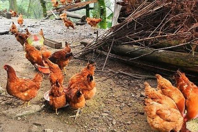 男子为泄私愤向养鸡场投毒 造成他人财产损失11647元
