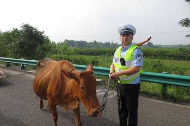 """黄牛高速上""""散步"""" 西柞中队交警徒步护送"""