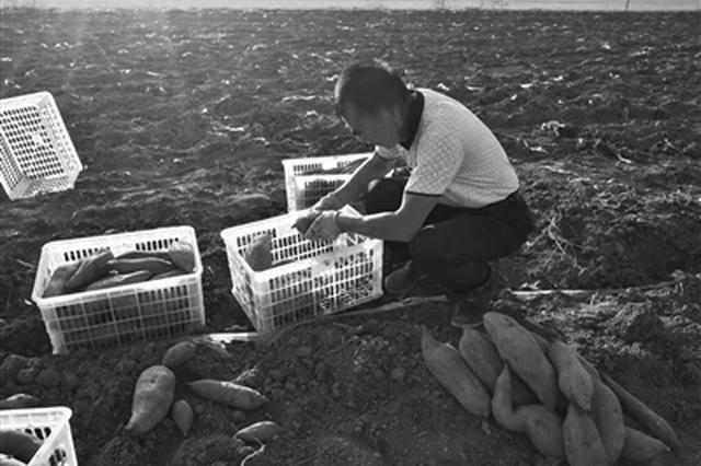 眼瞅着天气越来越冷 数万斤红薯滞销愁坏村民