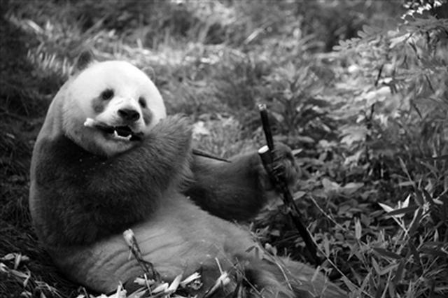 全球唯一圈养棕色大熊猫七仔首次完成自然交配