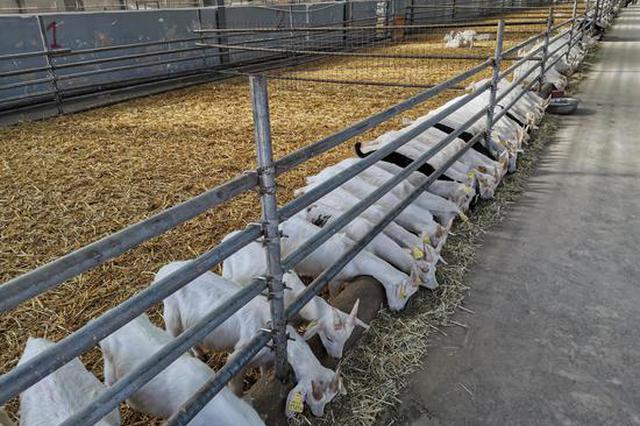 需求不旺价格走低 陕西奶山羊产业迎疫情大考