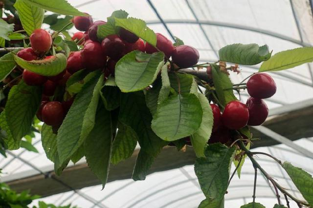 西安灞桥区大棚樱桃陆续上市 早熟品种即将售卖