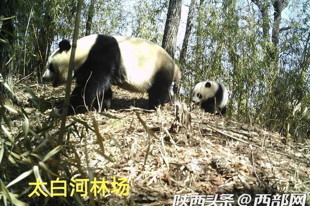 """红外相机实拍陕西大熊猫母子温馨""""春游"""""""