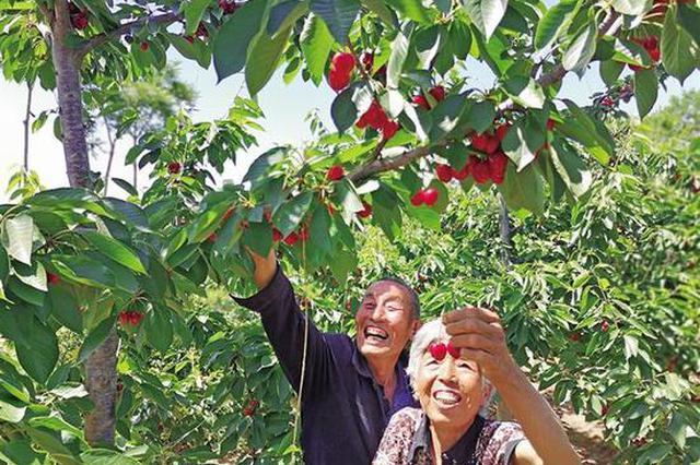 """铜川大樱桃鼓起农户""""钱袋子"""" 年产量2.0万吨"""