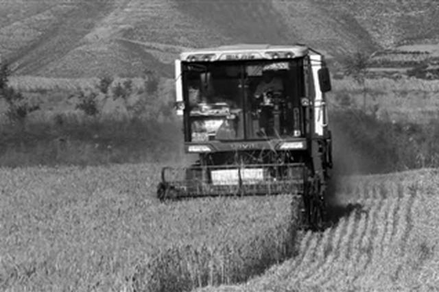 蒲城33万亩旱地小麦进入成熟期 夏收工作正式开始