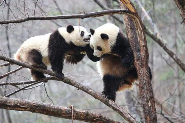 秦岭保护区架设红外相机后拍到了大熊猫、金丝猴、羚牛