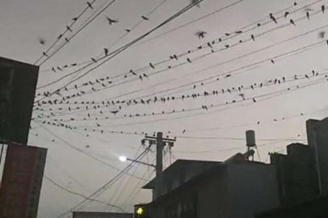 咸阳一村子燕子成群乱飞 地震局调查结果来了