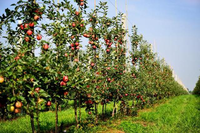 陕西建成全国最大矮砧苹果基地 种植面积达242万亩