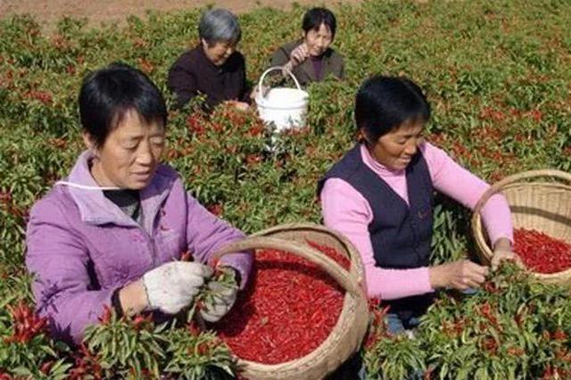 """韩城椒农:种地签合同 """"喜提""""好收成"""