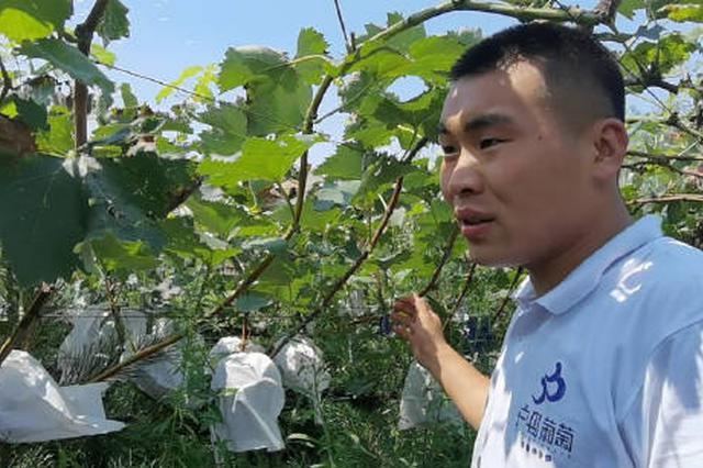 95后陕北小伙创业种葡萄 5人一起互相扶持