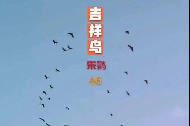 罕见!洋县46只朱鹮同框!惊艳如梦