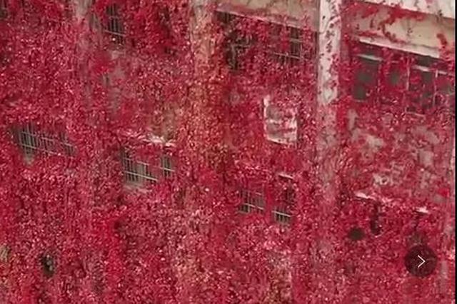 """火了!西安一大学教学楼30年爬满爬山虎!成""""网红楼"""""""