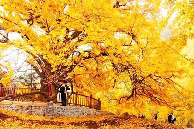 西安千年银杏树渐入观赏期,大批游客打卡