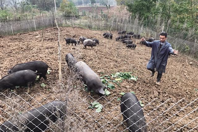 小伙放弃高薪返乡养猪 目标是带动周边群众共同致富