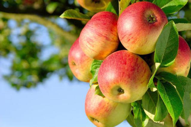 """富县试点""""保险+期货"""" 3.46万吨苹果有保障"""