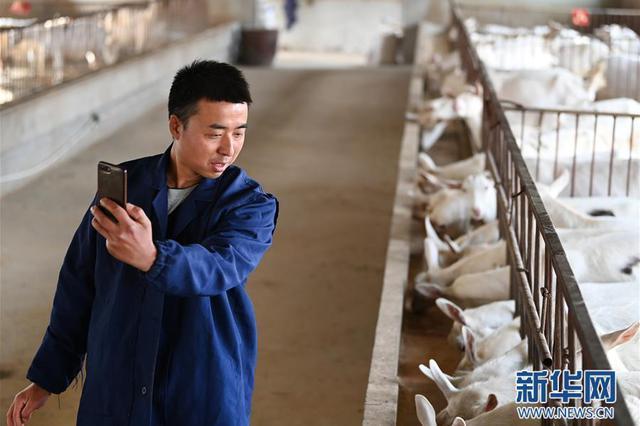 """陕西富平县:大学生""""羊倌""""成了致富""""领头羊"""""""