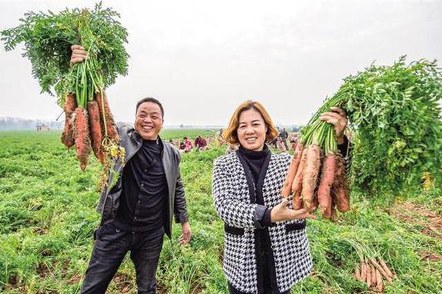 大荔县红萝卜喜获丰收 全县种植面积达10多万亩