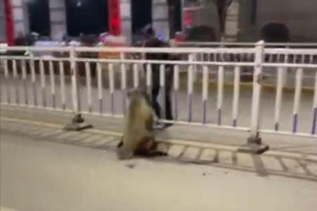 野猪进城被警方制伏 林业部门:切勿围追应及时报警