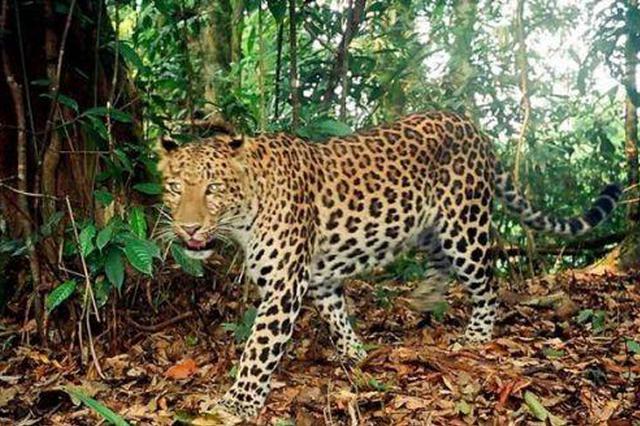 延安发现我国最大华北豹区域种群!数量约110只