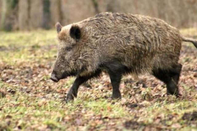 5年多野猪致安康10人死伤27万多亩庄稼遭殃