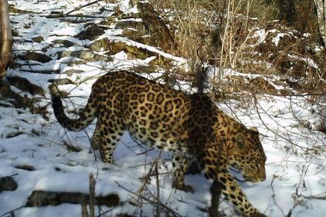 陕西长青国家级自然保护区多次监测到金钱豹活动