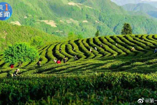 汉中市茶园面积逼近130万亩 产值达83.9亿元