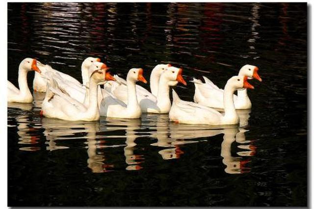 15只大天鹅来西安过冬了 三原冯村水库迎来新住户