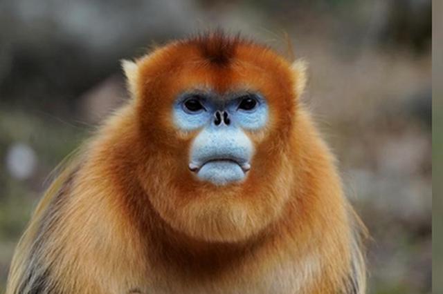 """西北大学""""猴脸识别技术""""可识别约200只秦岭金丝猴"""