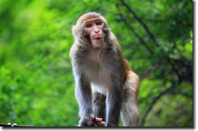 猴想过年!野生猕猴居民家中凑热闹 水果瓜子来者不拒