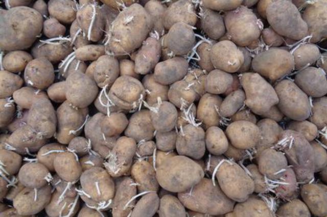 村里统一采购的马铃薯种子很多是烂的?村民反映无果