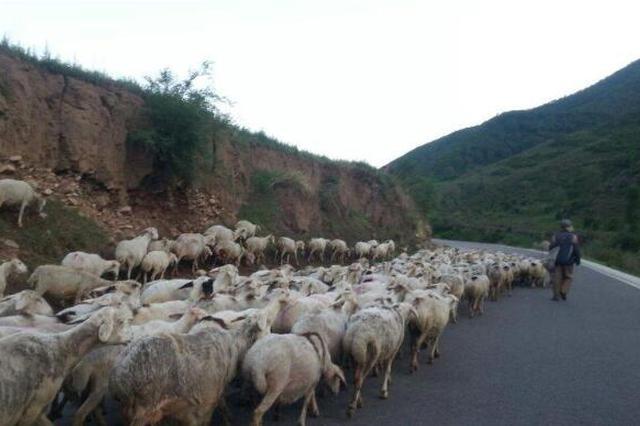 """公路上跑来11只羊 警民""""围堵""""恢复交通"""