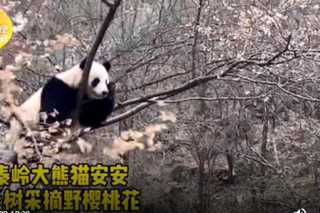 树上的野花就要采 秦岭大熊猫上树折樱桃花