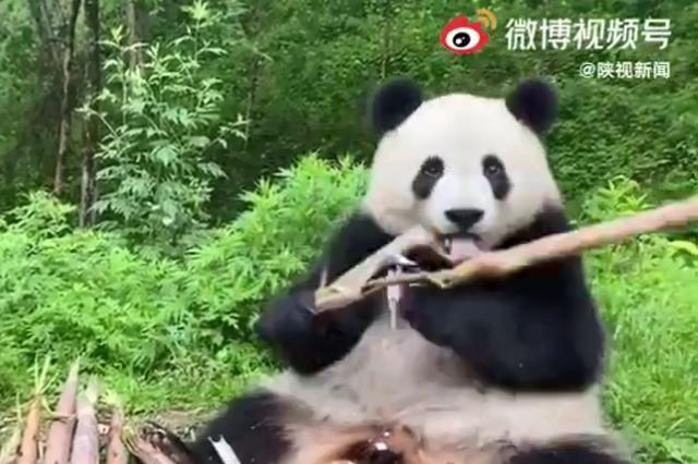 汉中佛坪:灵魂食者 听大熊猫吃竹笋有多治愈