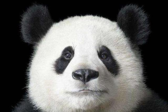 大熊貓被降級!陜西大熊貓野外種群增幅、密度均居全國首位