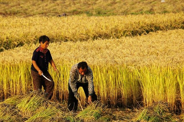陕西多措抢时耕种收 全省秋粮已收1479.9万亩