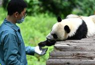 秦岭脚下的熊猫乐园