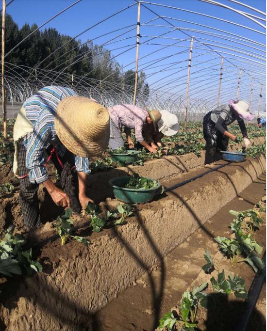 西安高新区庆镇村:500亩草莓基地带动村民增收致富