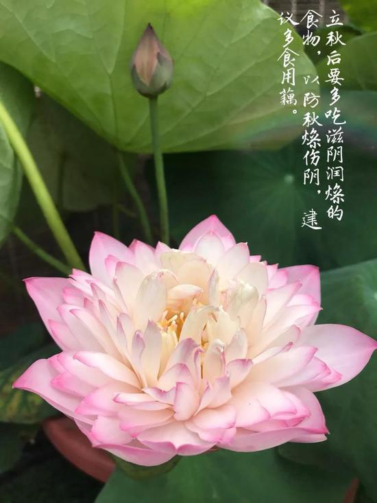 《秋香》 作者:王曼