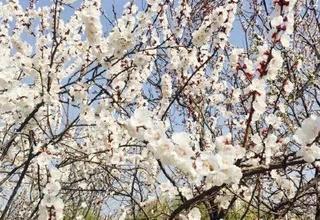 浐灞春季赏花地图来了