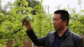 75后开农家乐种黄金梨 年纯收入超20万