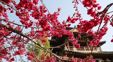 青龙寺进入樱花季