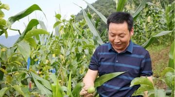 年入40万的宁陕能人回山村种核桃板栗