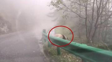游客黄柏塬赏秋景 相继邂逅羚牛大熊猫