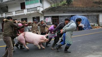 巴山人家杀年猪吃庖汤 这里的年味渐浓