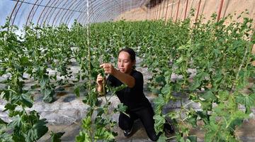陕西延安:发展设施农业助增收