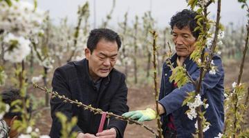 渭南:千亩现代樱桃园助力群众致富