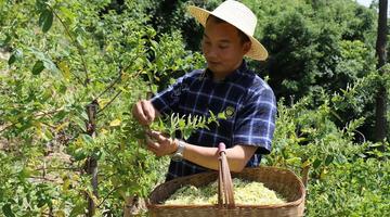 旬阳发展金银花产业 种植达到8000余亩