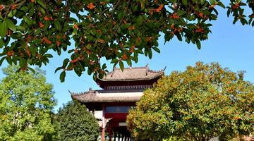 宁强县:满城桂花香 正是赏花时