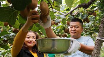 眉县新一代果农:接手父母的果园