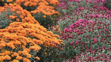 500余种菊花在鄠邑区竞相绽放